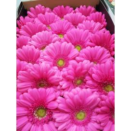 Gerbera Rosa Cx.50 Flores